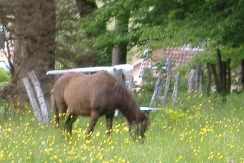 REGLISSE - ONC poney typée Shetland née en 2000 - adoptée en novembre 2013 par Solenn Dscf3744