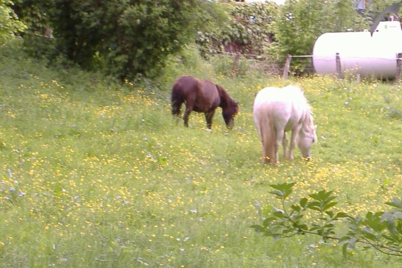 REGLISSE - ONC poney typée Shetland née en 2000 - adoptée en novembre 2013 par Solenn Dscf3750