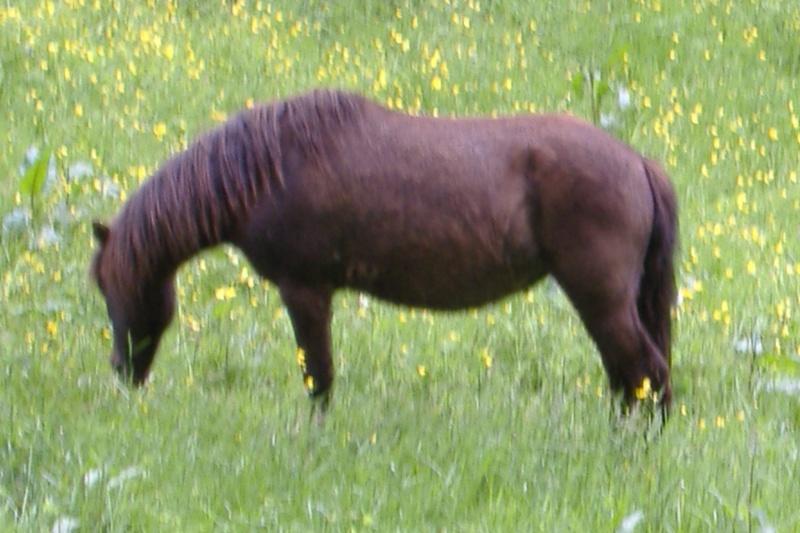 REGLISSE - ONC poney typée Shetland née en 2000 - adoptée en novembre 2013 par Solenn Dscf3751