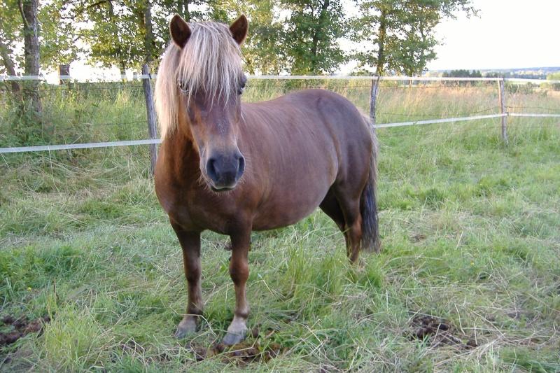 NOISETTE - ONC poney typée shetland née en 2000 - adoptée en juillet 2013 par Patrick  Dscf3758