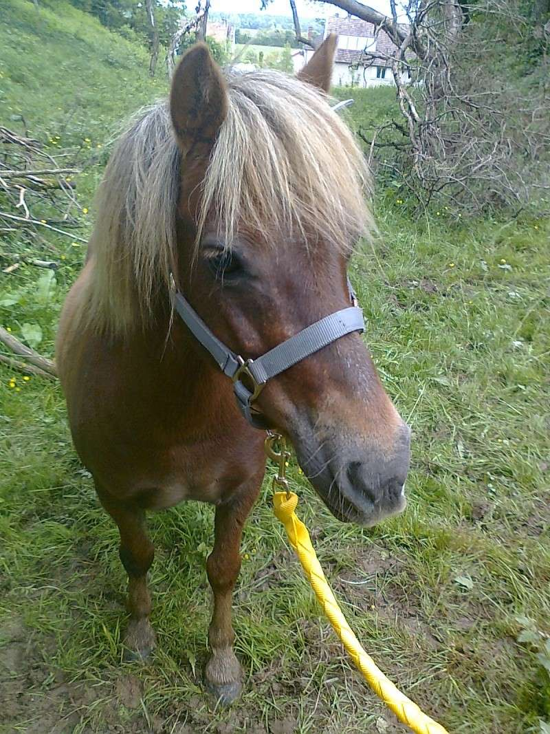 NOISETTE - ONC poney typée shetland née en 2000 - adoptée en juillet 2013 par Patrick  Photo110