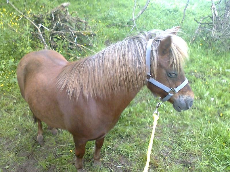NOISETTE - ONC poney typée shetland née en 2000 - adoptée en juillet 2013 par Patrick  Photo111