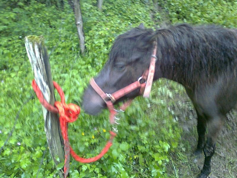 REGLISSE - ONC poney typée Shetland née en 2000 - adoptée en novembre 2013 par Solenn Photo114