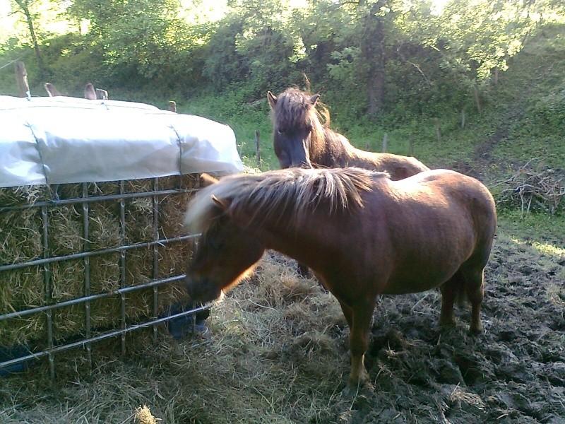 NOISETTE - ONC poney typée shetland née en 2000 - adoptée en juillet 2013 par Patrick  Photo115