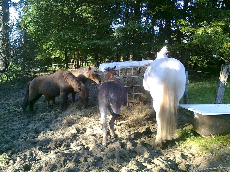 NOISETTE - ONC poney typée shetland née en 2000 - adoptée en juillet 2013 par Patrick  Photo116