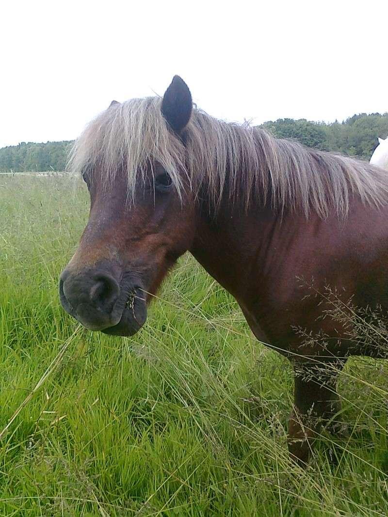 NOISETTE - ONC poney typée shetland née en 2000 - adoptée en juillet 2013 par Patrick  Photo120