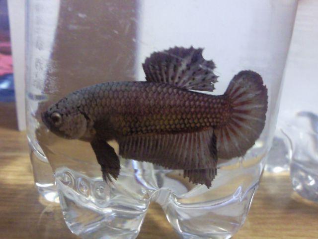 Male HMPK gold dragon V Femelle HM gold géno DT 19_10510