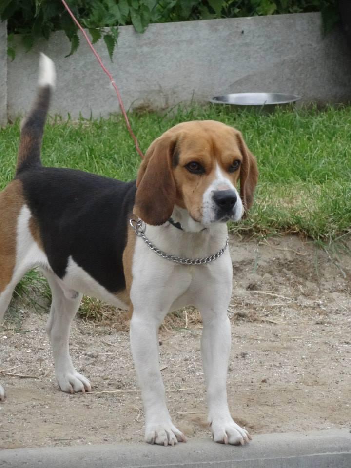 Foster beagle mâle de 2 ans au Havre  Beagle10