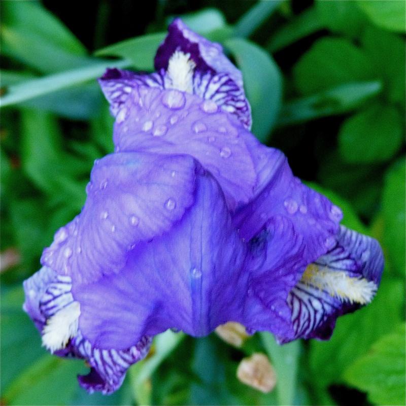 Les iris -culture, multiplication, entretien, variétés. - Page 2 P1040910