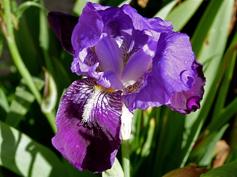 Les iris -culture, multiplication, entretien, variétés. - Page 2 P1090110