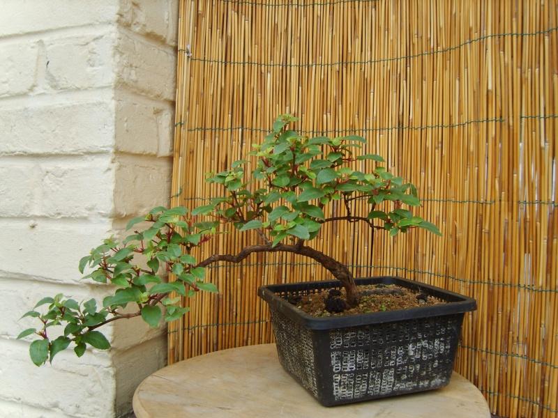 bonsaï fuchsia  22juin12