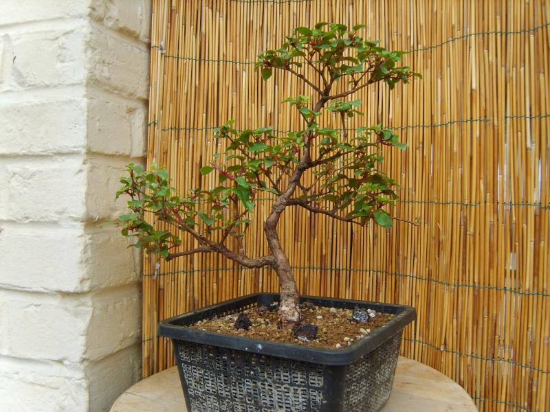 bonsaï fuchsia  23juin11