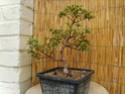 bonsaï fuchsia  23juin10