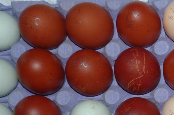 Des œufs normaux ! Omaran10