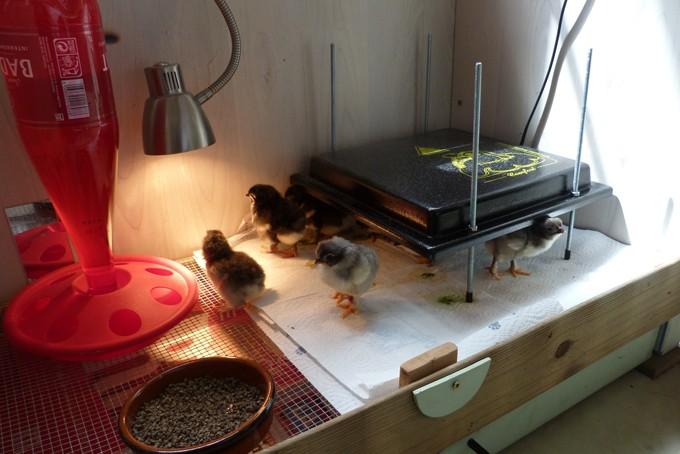 poule - Poussins élevés sous poule et poussins en éleveuse, les différences P1090117