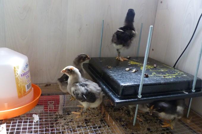 poule - Poussins élevés sous poule et poussins en éleveuse, les différences P1090320