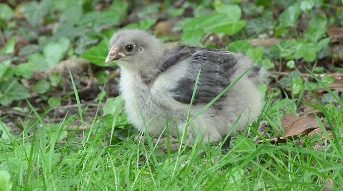 poule - Poussins élevés sous poule et poussins en éleveuse, les différences P1090413