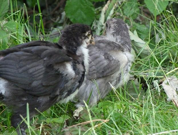 poule - Poussins élevés sous poule et poussins en éleveuse, les différences P1090516