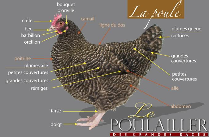 La morphologie de la poule Poulea10