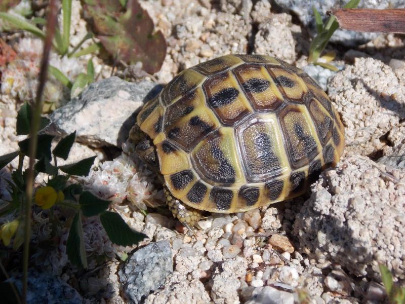 Reptiles de Corse 00311