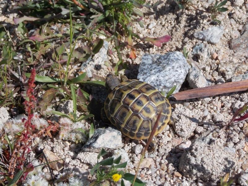Reptiles de Corse 00511