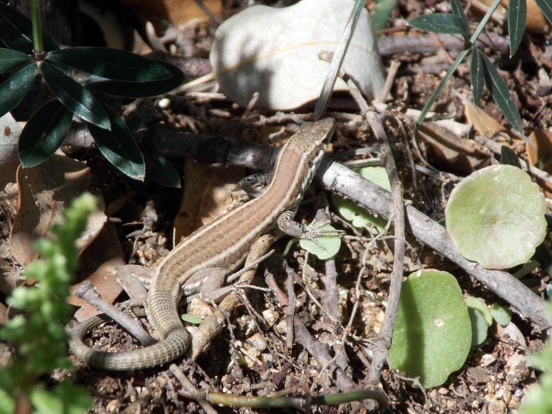 Reptiles de Corse 03111