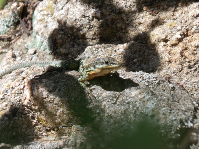 Reptiles de Corse 03710