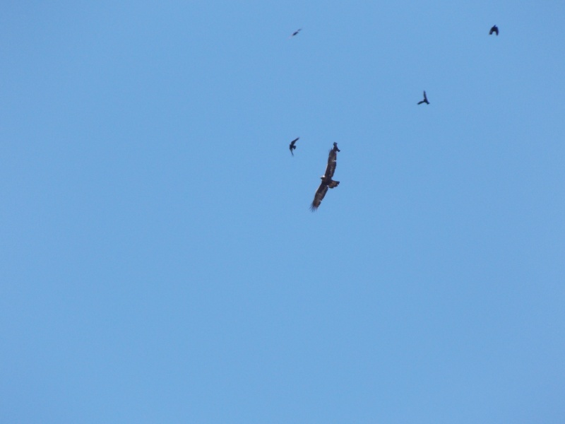 Un aigle houspillé par des corbeaux 03713