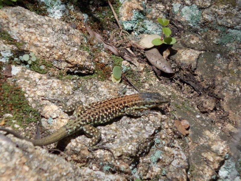 Reptiles de Corse 03910