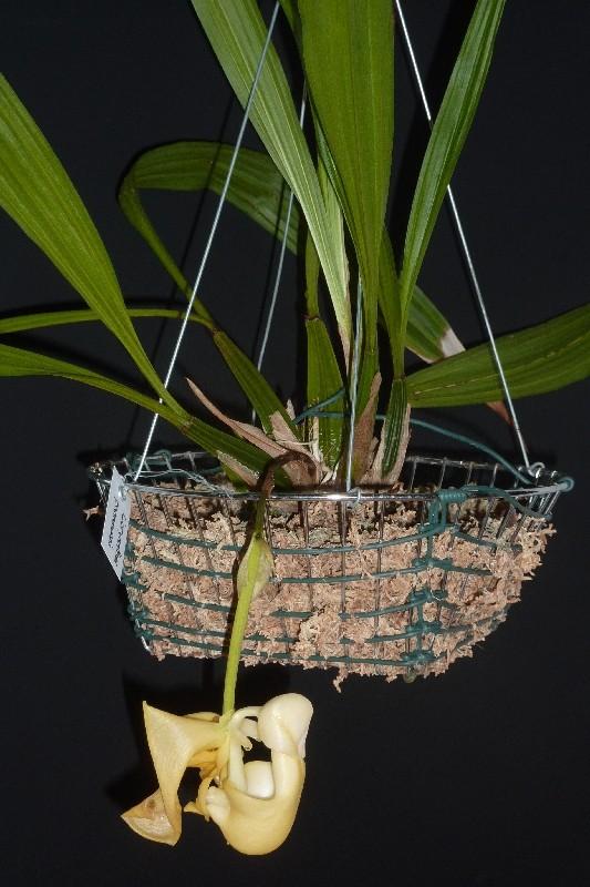 Coryanthes panamensis Corpan11