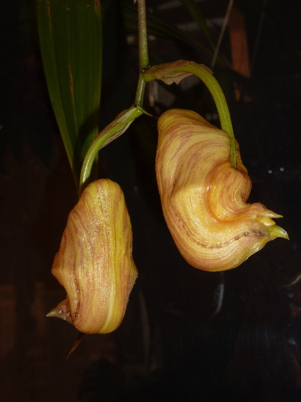 Coryanthes panamensis Coryan10