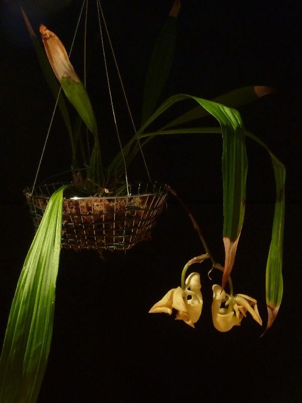 Coryanthes panamensis Coryan11