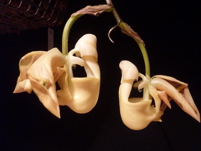 Coryanthes panamensis Coryan12