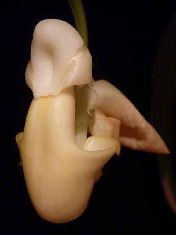 Coryanthes panamensis Coryan14