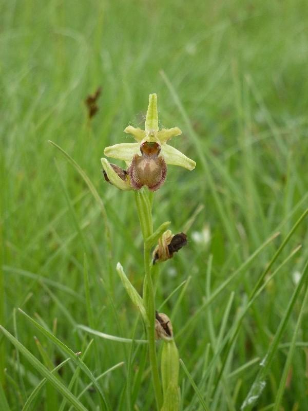 Einheimische Orchideen am Standort P1030410
