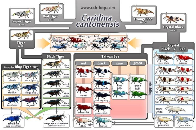 Classification caridina cantonesis 38899410