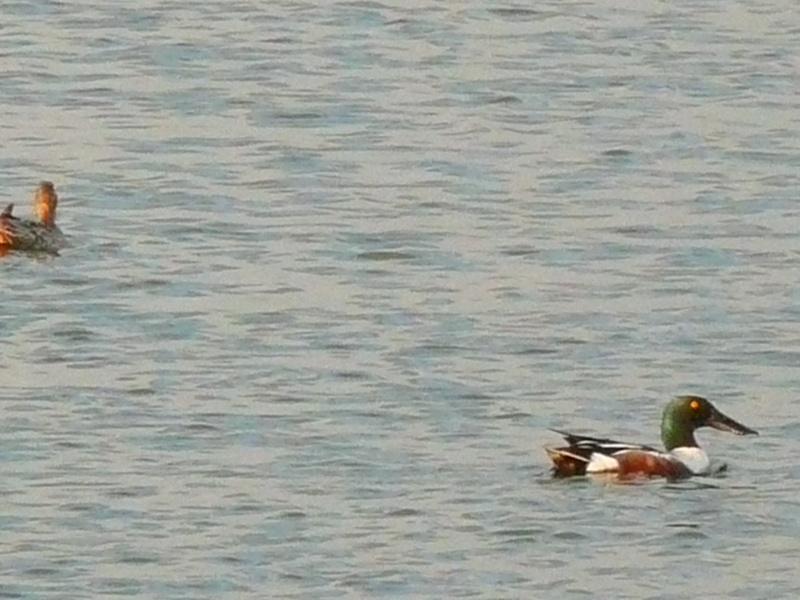 Différentes sortes de canards à Baie du Febvre P1260410