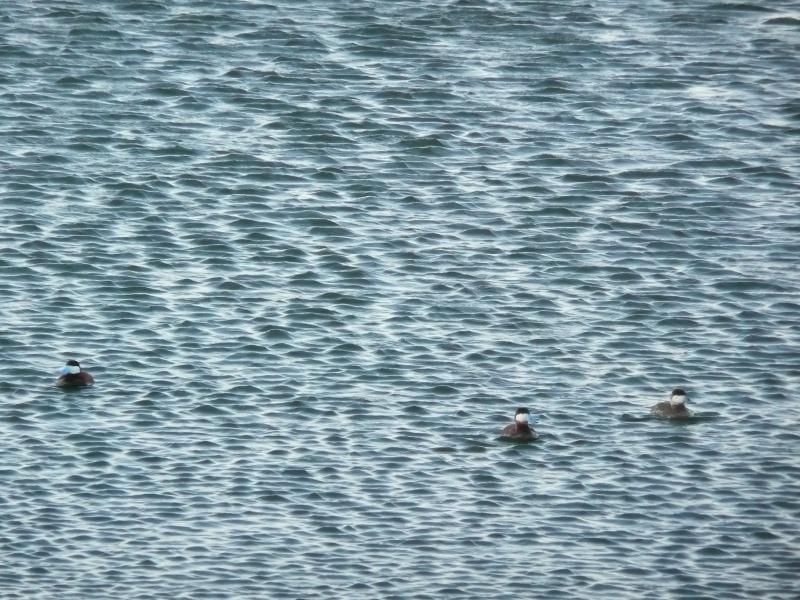 Différentes sortes de canards à Baie du Febvre P1260610