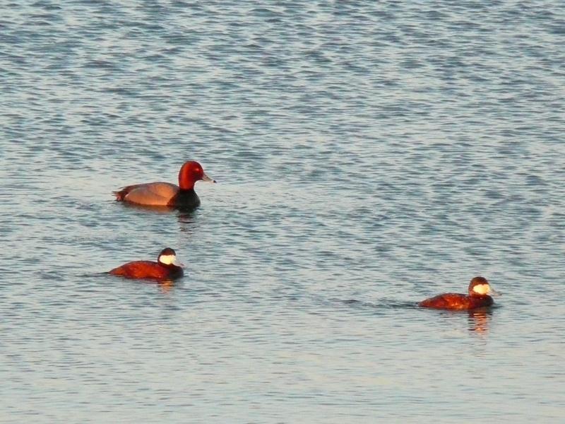 Différentes sortes de canards à Baie du Febvre P1260714