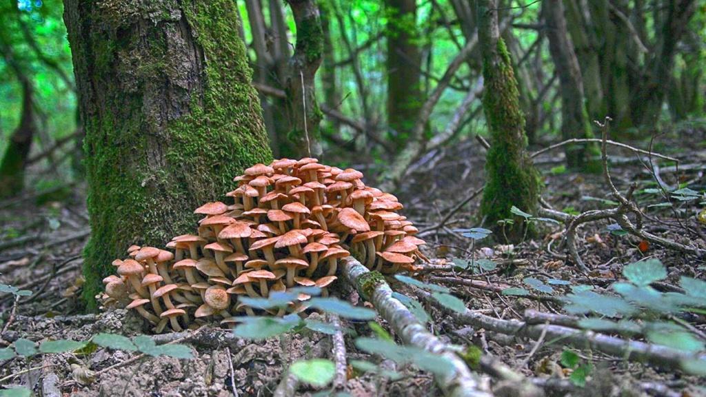 [fil ouvert] les champignons - Page 11 Bois211