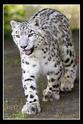 дикие кошки  Dnd210