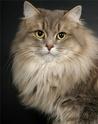породы кошек Ndddnn11
