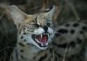 дикие кошки  Ndundd10