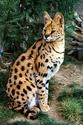 дикие кошки  Ndundd11