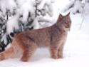 дикие кошки  Nnnno10