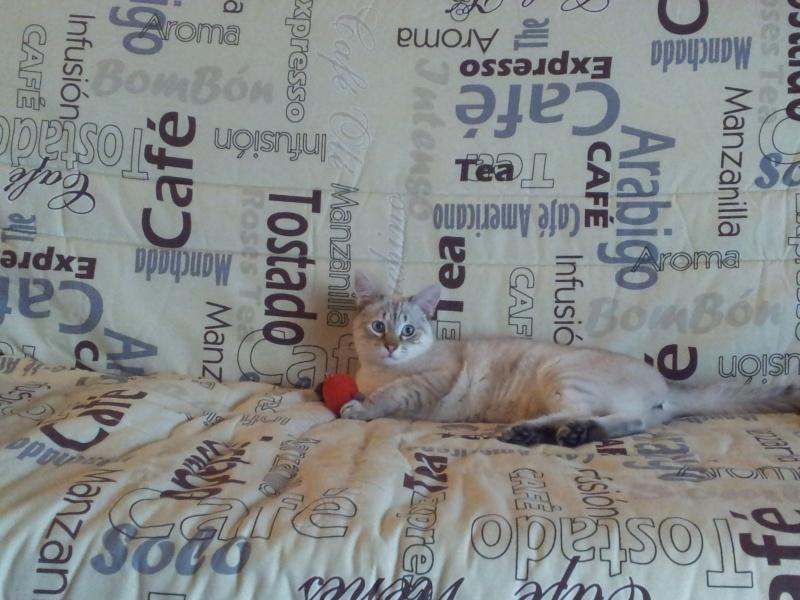 FACIL (chaton mâle typé siamois) 20130410