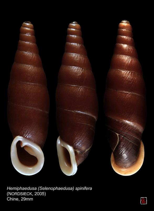 Hemiphaedusa spinifera (Nordsieck, 2005) 90406920