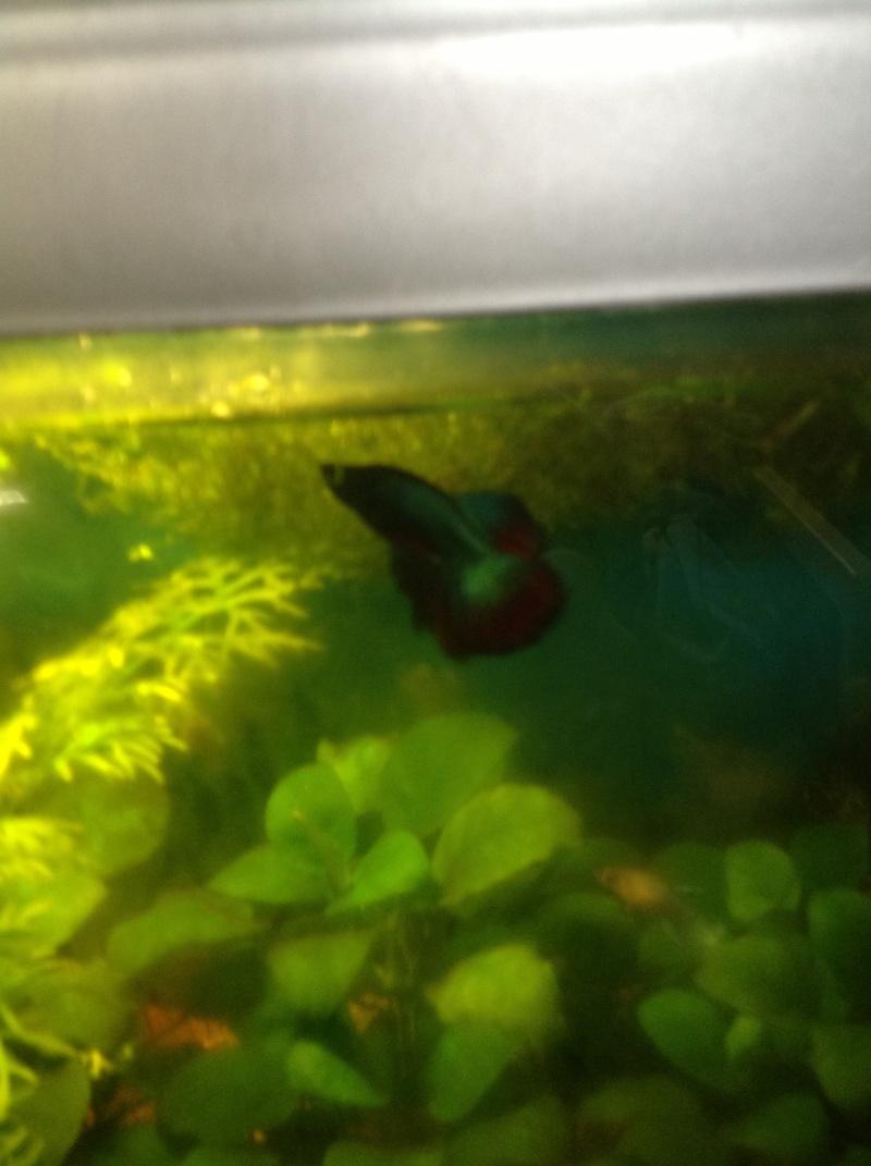 Mâle Halfmoon turquoise+femelle Crowntail verte émeuraude - Page 2 Photu10