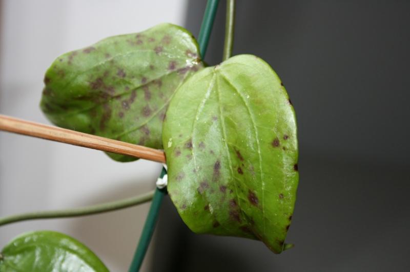 Braune Flecken an den Blättern Img_2012