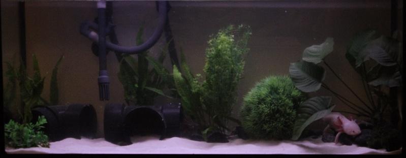 Axolotl (Ambystoma Mexicanum) Aqua10